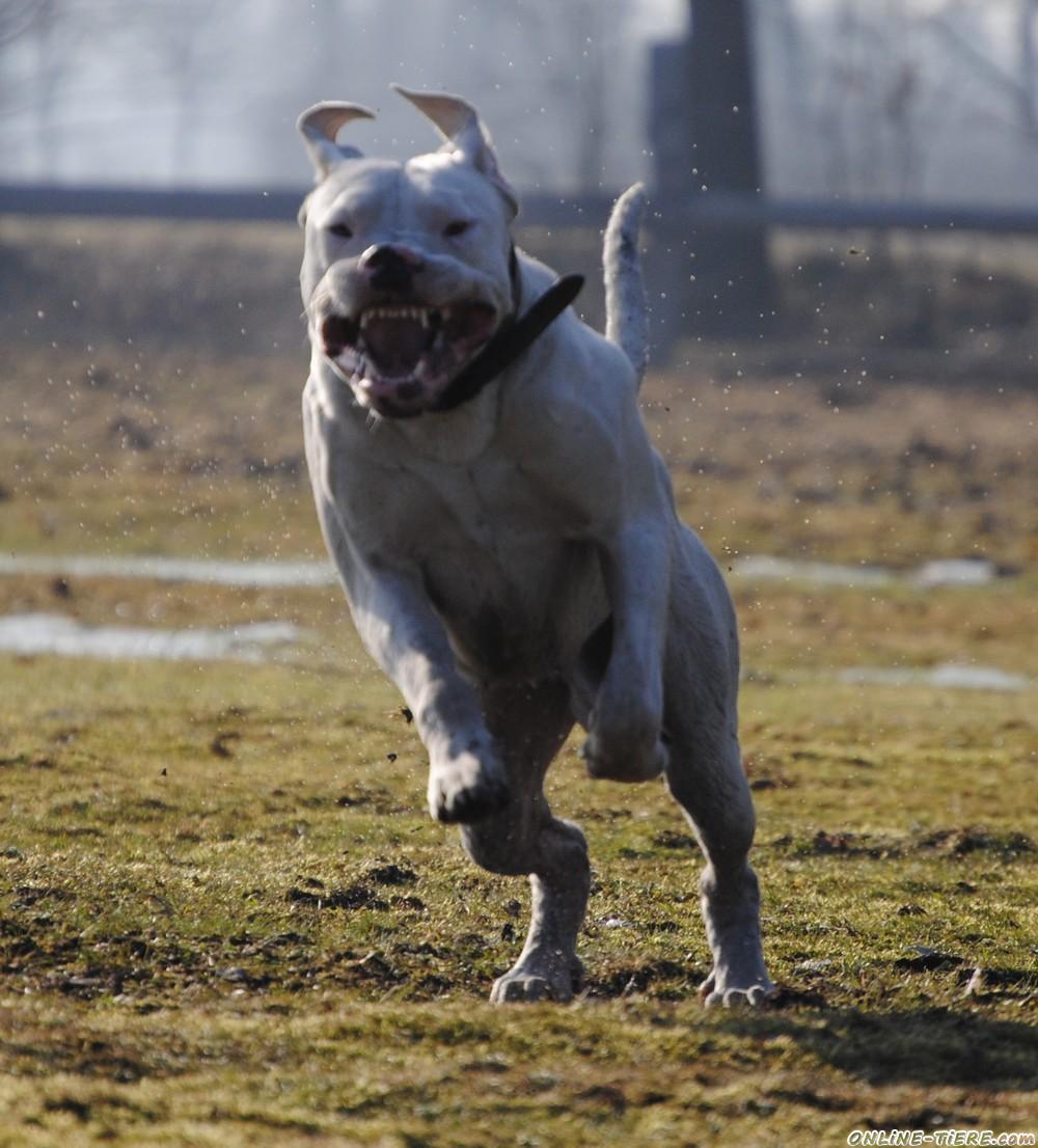 Dogo Argentino Deckrüde 29394 Lüder Hunde zu verkaufen 7051