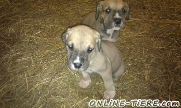 Biete Dt.Dogge-Labrador Mix Welpen