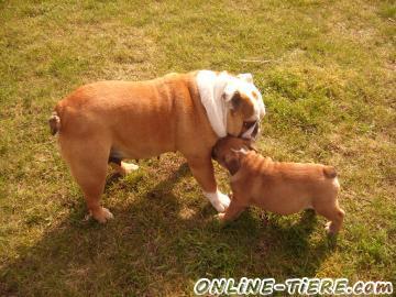Biete Englische Bulldogge