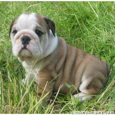 Bulldog Puppies on Englisch Bulldogge Welpen Zur Annahme 47798 Krefeld Hunde Zu Verkaufen