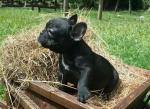 Biete Französisch Bulldogge Welpen