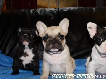 Biete Französisch Bulldogge