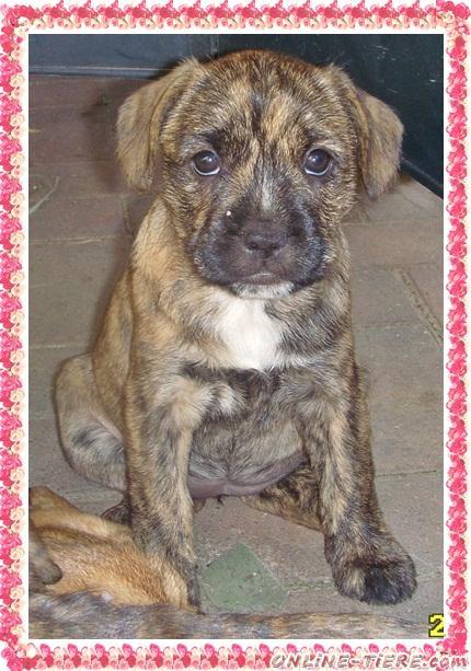 einzigartig franz sische bulldogge terrier edel mix bully 23942 dassow hunde zu verkaufen 4854. Black Bedroom Furniture Sets. Home Design Ideas