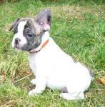 Biete Französische Bulldogge