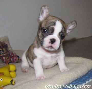 Biete Französische Bulldoggen