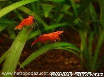 Biete Garnelen, Sakura, Red Fire