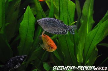 Verschenke 3 gold und 2 blaue marmorfadenfische 45359 for Teichfische nrw