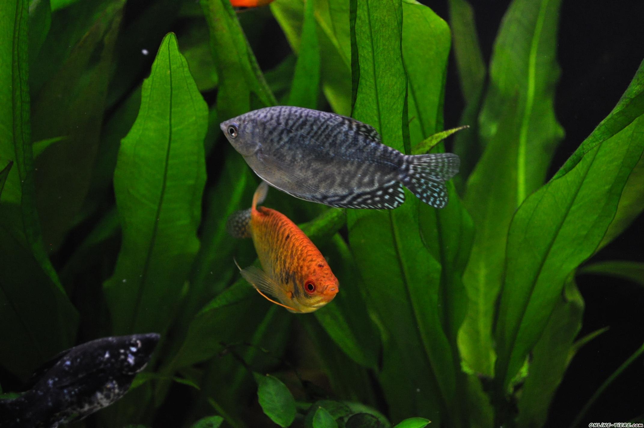 Verschenke 3 gold und 2 blaue marmorfadenfische 45359 for Teichfische ohne pumpe