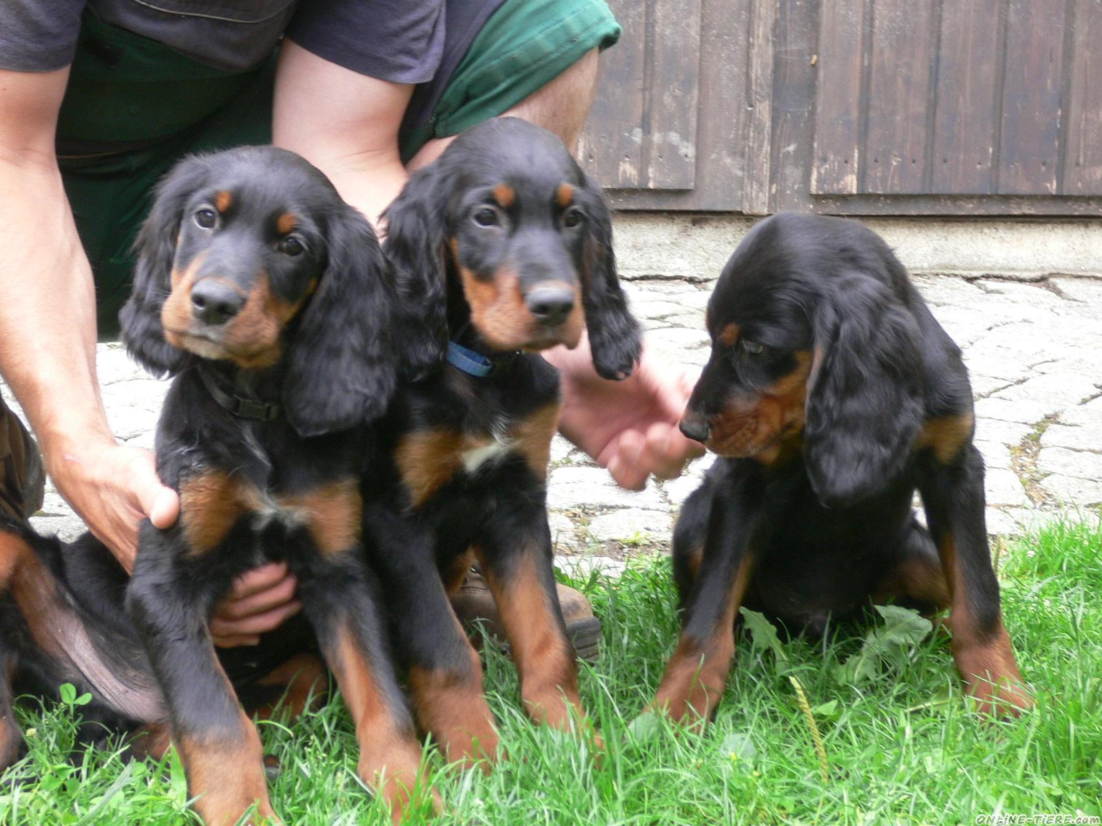 Three cute Gordon Setter puppies playing with their owner