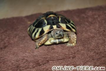 Biete Griechische Landschildkröte