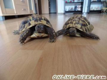 Biete Griechische Landschildkröten