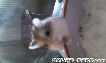 Biete Hamster
