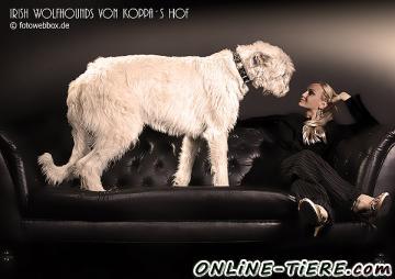 Biete Irish Wolfhound, Irischer Wolfshund