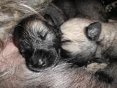 Biete Irish Wolfhound