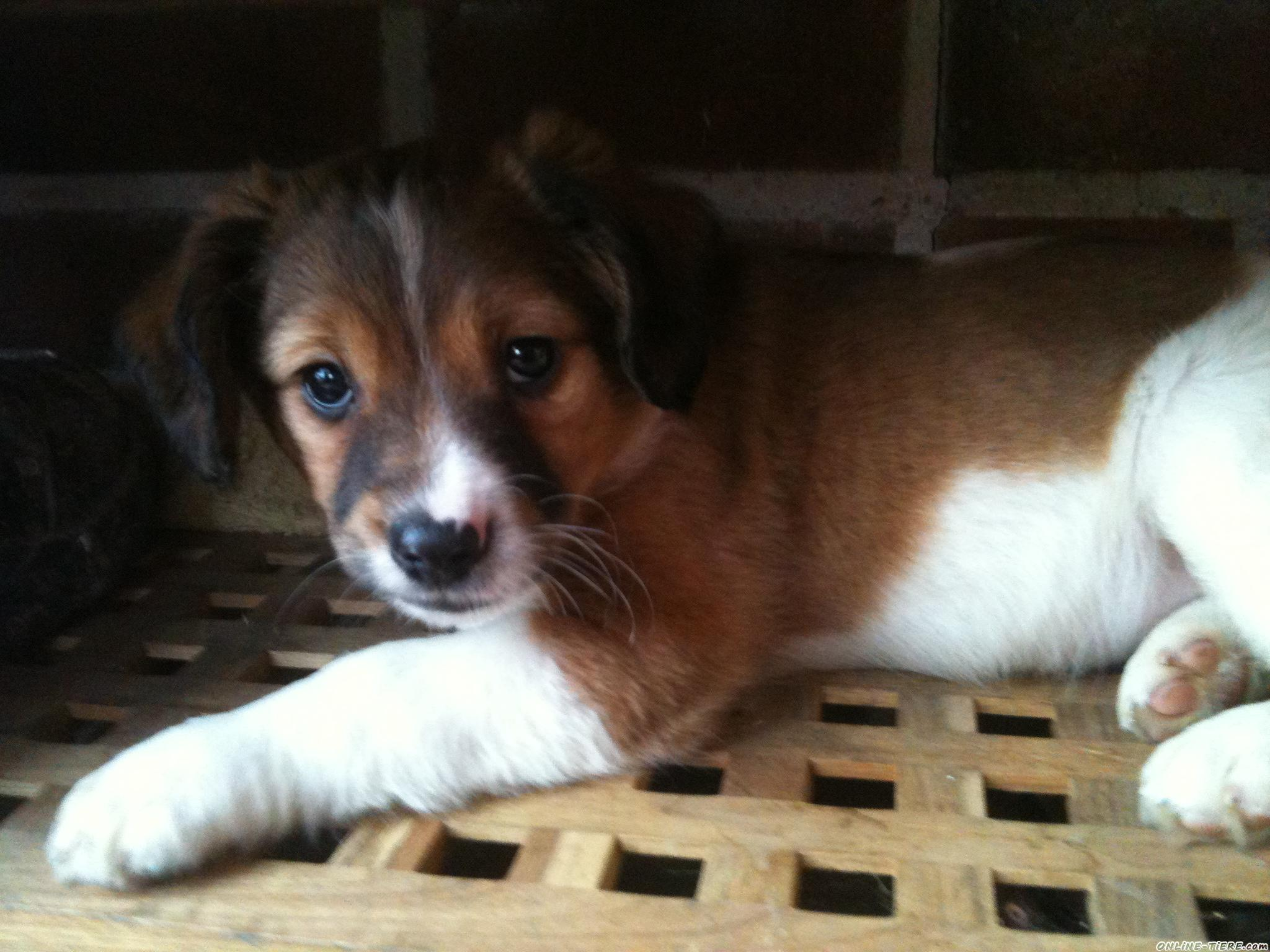 American Eskimo Mix Puppies Daily Puppy To Download Juno The American ...