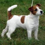 Biete Jack Russell Terrier Welpen