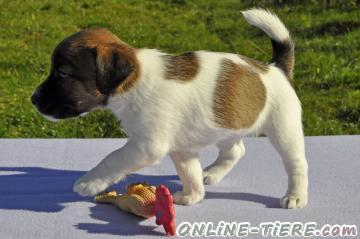 Biete Jack Russell Terrier