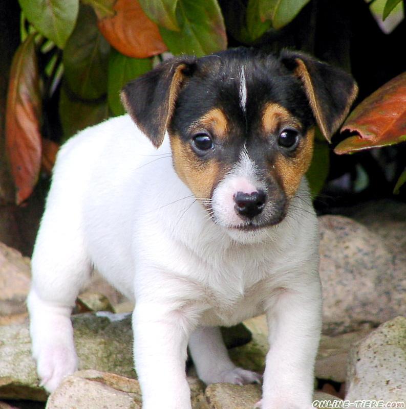 Typvolle Jack Russell Terrier Welpen 27333 Warpe Hunde Zu Verkaufen 10938 Kleinanzeigen