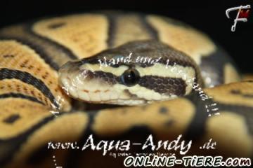 Biete Königspython Python regius