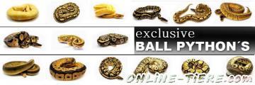 Biete Königspythons, Afrikanische Hausschlangen, Kornnattern, Kettennattern, Königsnattern, Leopardgeckos