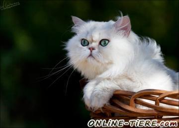 Biete Katze, Perser
