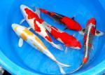 Biete Koi,Störe,Goldfisch,Biotopfische