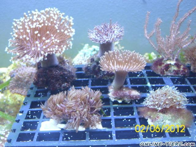 Verschiedene korallenableger abzugeben 59075 hamm fische for Teichfische ohne pumpe