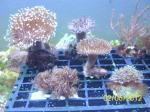 Biete Korallen