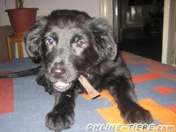 Biete Labrador, Golden Retriever