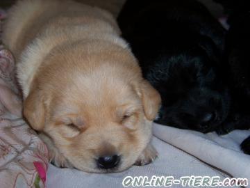 Biete Labrador Hovawart Mix