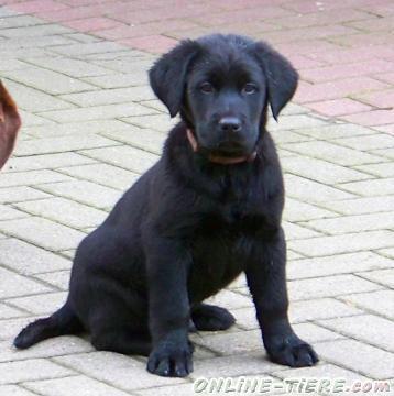 Biete Labrador, Hovawart