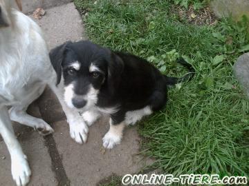 Biete Labrador-Mischling-Welpen