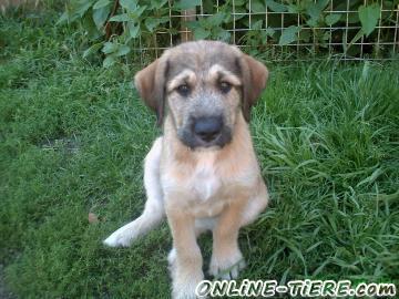 Biete Labrador-Mischling