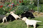 Biete Labrador Retriever Welpen