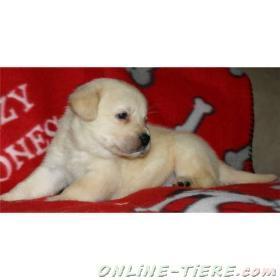 Biete Labrador Retriever