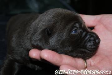 Biete Labrador Retriver