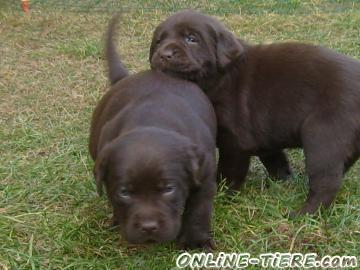 Biete Labrador