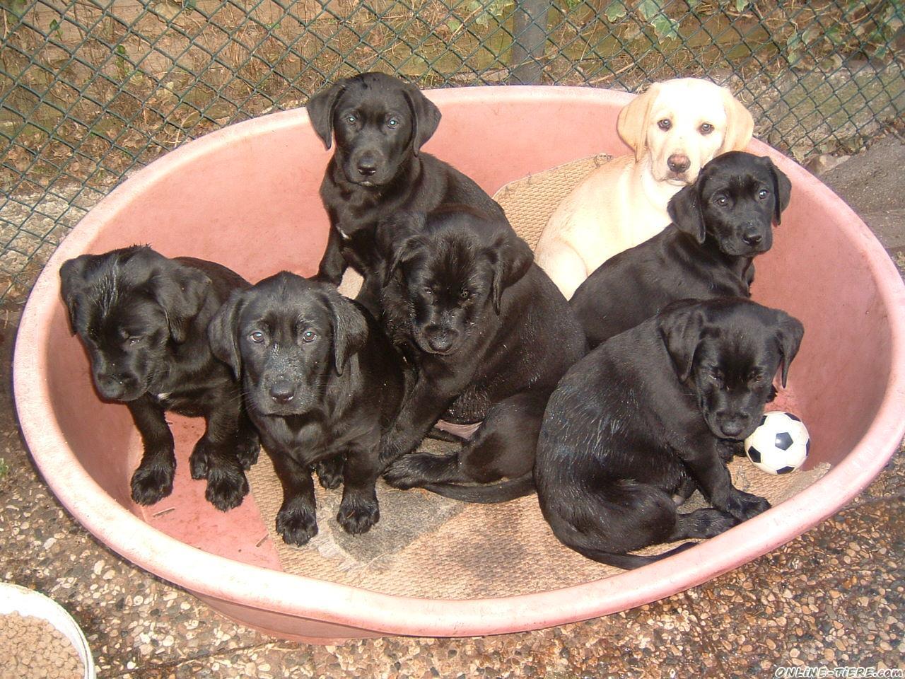Labrador Welpen 48301 Nottuln Hunde Zu Verkaufen 7341 Kleinanzeigen