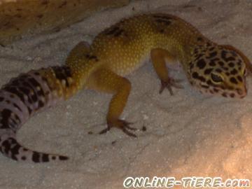 Biete Leopardgecko, Gecko