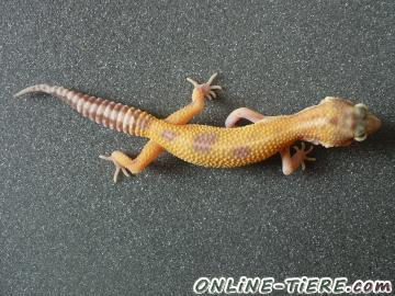 Biete Leopardgecko