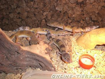 Biete Leopardgeckos