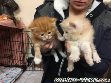 Biete MAINE COON kitten