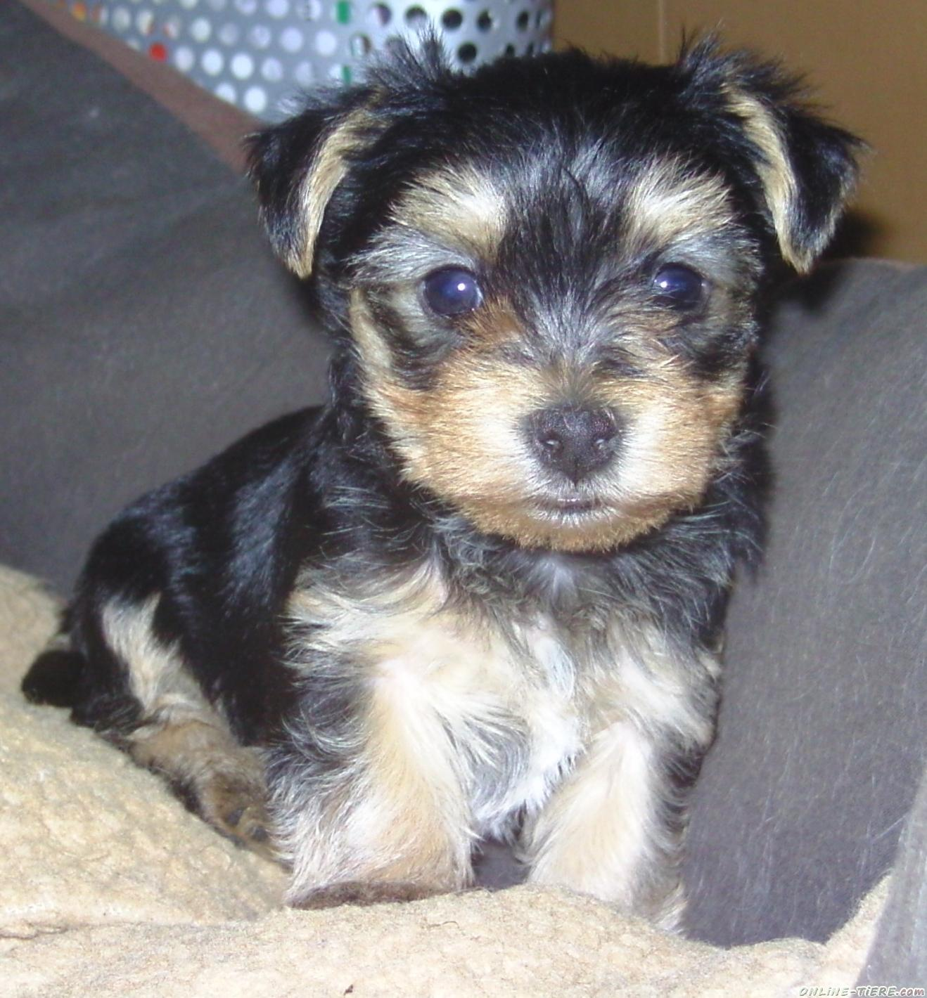 Yorkshire Terrier Yorkie Maltese Mix