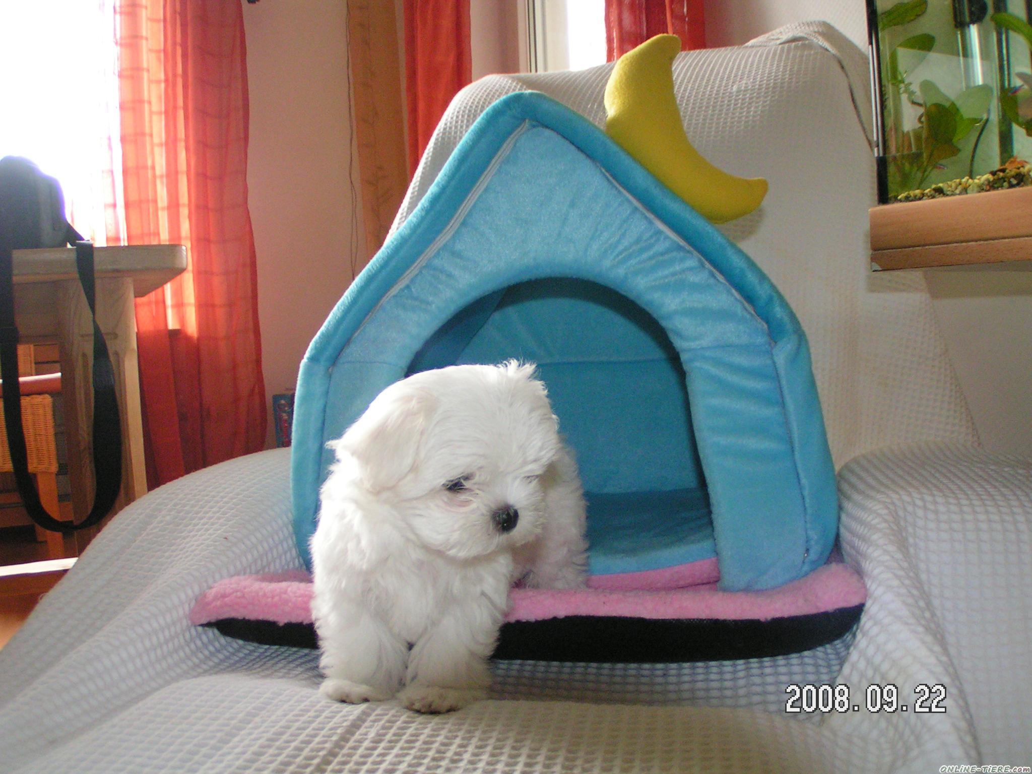 am 8 april werden unsere mini malteser vom einort geboren 35216 biedenkopf hunde zu verkaufen. Black Bedroom Furniture Sets. Home Design Ideas