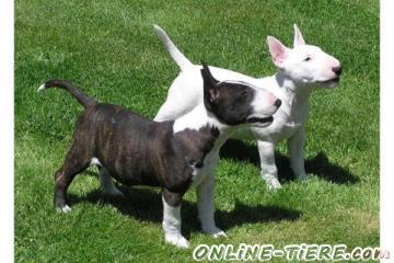 Biete Maniatur Bull terrier
