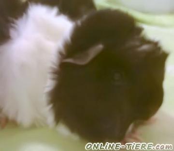 Biete Meerschweinchen, Langhaarmeerschweinchen
