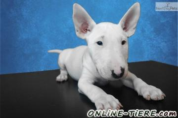Biete Miniature Bull terrier