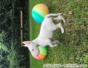 Biete Miniature-Bullterrier