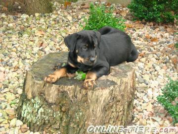 Biete Mischling, Dalmatiner, Rottweiler
