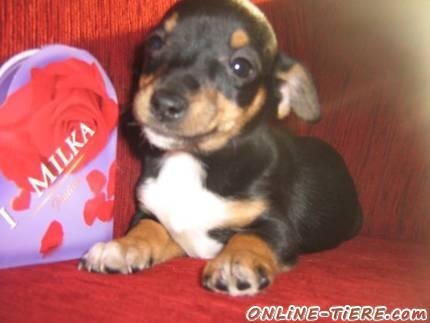 Traumhaft Susse Chihuahua Jack Russel Welpen Abzugeben 44135 Dortmund Hunde Zu Verkaufen 3547 Kleinanzeigen